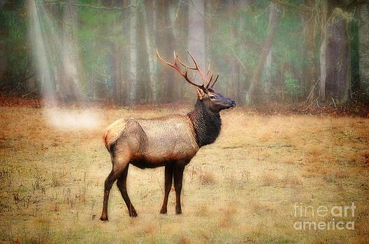 Dan Friend - Bull elk in field