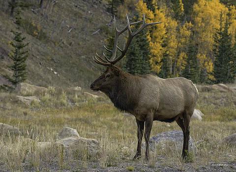 Bull Elk in Hidden Valley by Tom Wilbert
