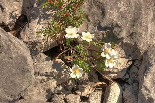 Burnet Roses by John Quinn