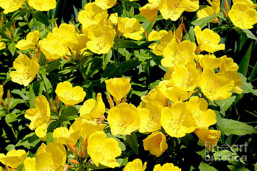 Corey Ford - Buttercup Flowers