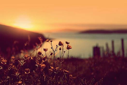 Buttercups Ranunculus Acris And Landscape In The Sunset by Anne Macdonald