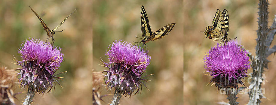 Adrienne Franklin - Butterflies and Thistle