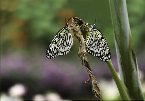 Qing  - Butterflies In Love