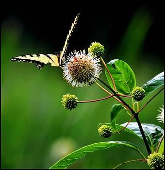 Butterfly 1 by Jeffrey Platt