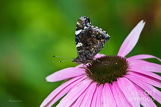 Butterfly and Cone Flower by Ms Judi