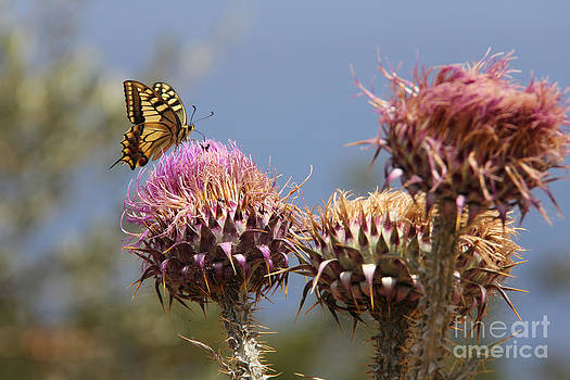 Adrienne Franklin - Butterfly and Thistle