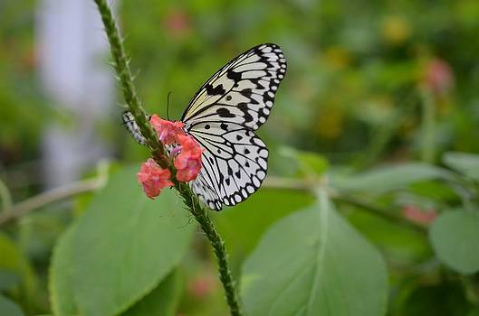 Butterfly Brilliance by Chandra Wesson