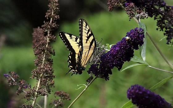 Rosanne Jordan - Butterfly Bush Visitor