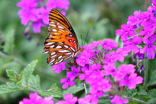 Butterfly  by David Kittrell