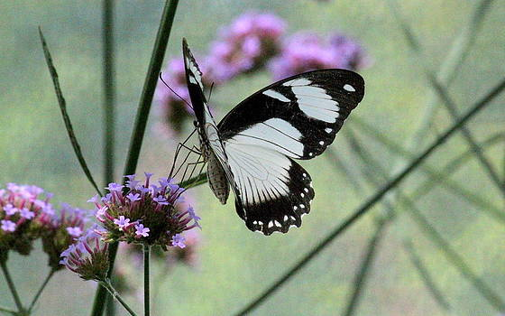 Rosanne Jordan - Butterfly Dreams