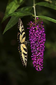 Karol  Livote - Butterfly Feast