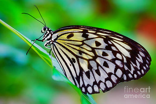 Nick  Biemans - Butterfly on a leaf