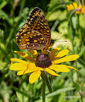 Barbara McMahon - Great Spangled Fritillary Butterfly On Black Eyed Susan