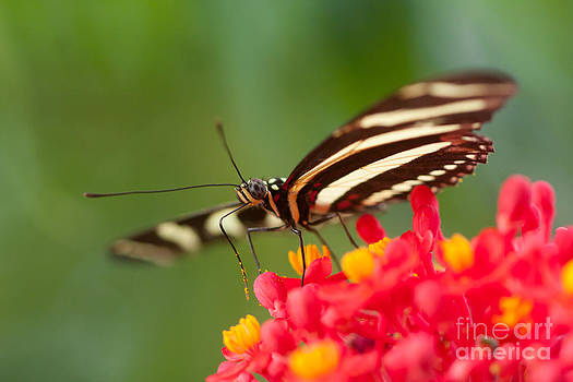 Butterfly on Coralbush by Jared Shomo