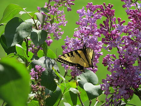 Butterfly on Lilac by Diane Mitchell