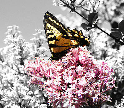 Butterfly on Lilac by Mellisa Ward