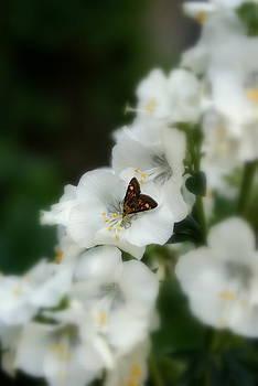 Butterfly On White Flower by Fabian Cardon