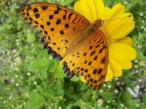 Butterfly on yellow flower by Smrita Pradhan