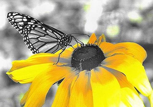 Butterfly on yellow flower by Susan Herr