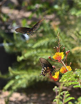Allen Sheffield - Butterfly Pas de Deux