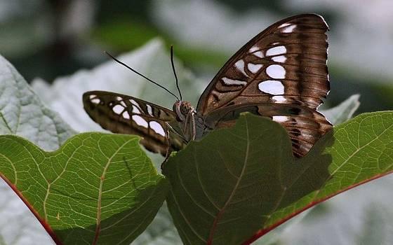 Rosanne Jordan - Butterfly Peek a Boo