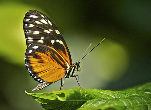 Michael Peychich - Butterfly Profile