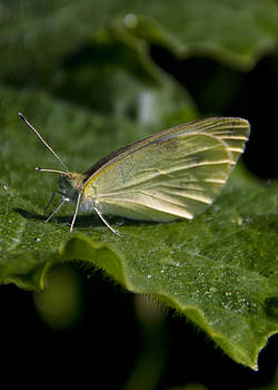Butterfly resting on pickle leaf by Michael Huddleston
