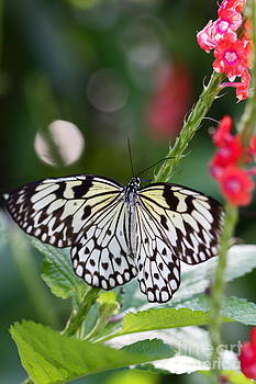 Butterfly Wings by Pamela Gail Torres