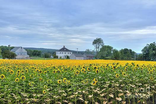 Buttonwood Sunflower Farm by Marcel  J Goetz  Sr