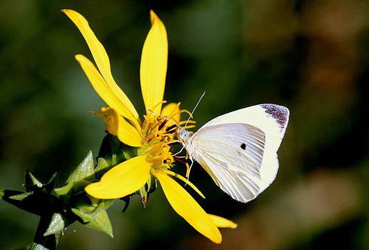 Rosanne Jordan - Cabbage White Butterfly
