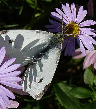Margaret Saheed - Cabbage White In Shadow