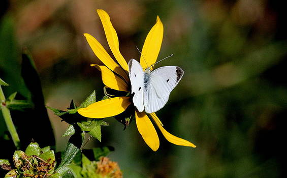 Rosanne Jordan - Cabbage White on Wildflower