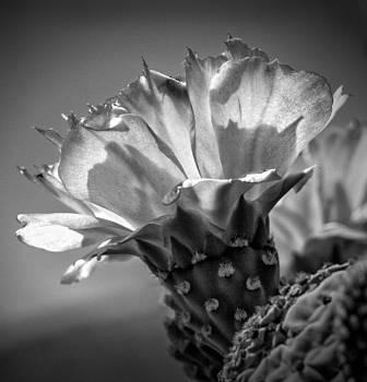 Cactus flower BW by Janice Sullivan
