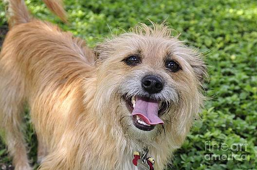 Cairn Terrier by Andres LaBrada