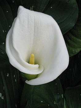 Cala Lily by Carli Tolmie