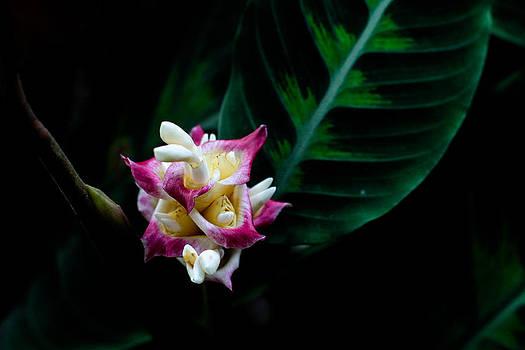 Calathea Warszewiczii by Donald Chen