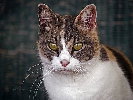Calico Cat by Ed Cooper