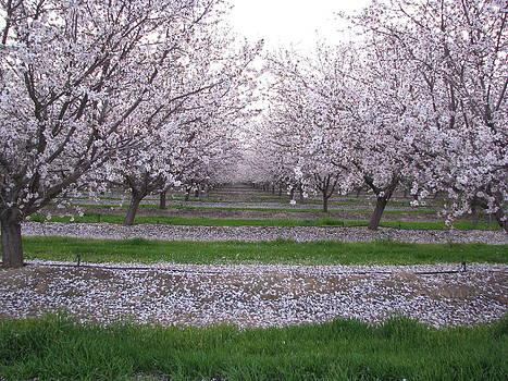 California Blossoms by Ricardo Antoni