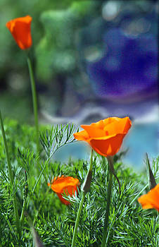 California Poppies by Alice Ramirez