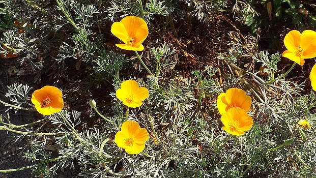 California Poppies by Brett Chambers