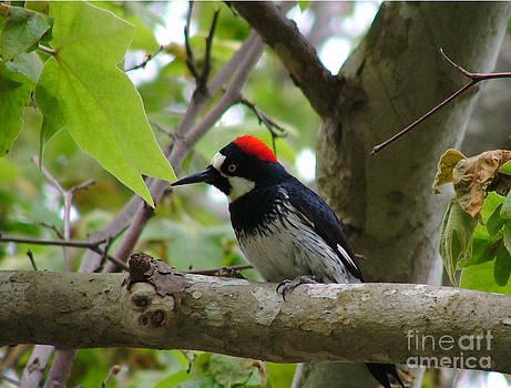 California Woodpecker by Carolyn Burns Bass