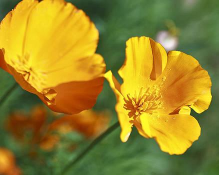 Gilbert Artiaga - Californias Poppies