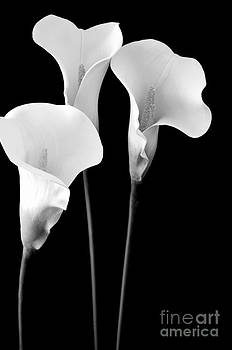 Mary Deal - Calla Lilies in Triplicate in Black and White