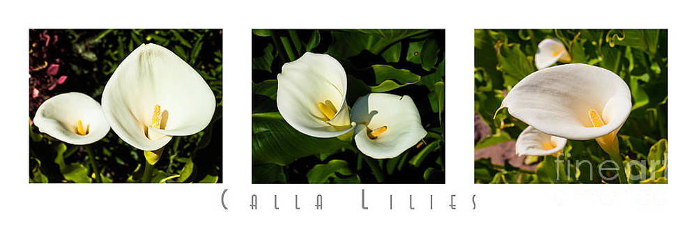 Calla Lilly Color Triptych with Title only by David Doucot