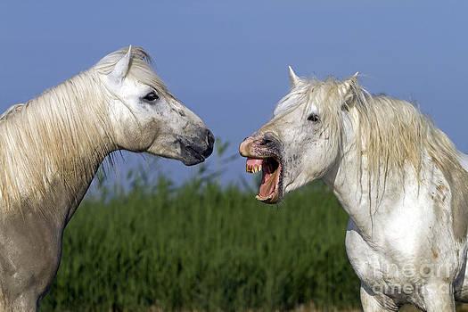 M Watson - Camargue Horses Fighting