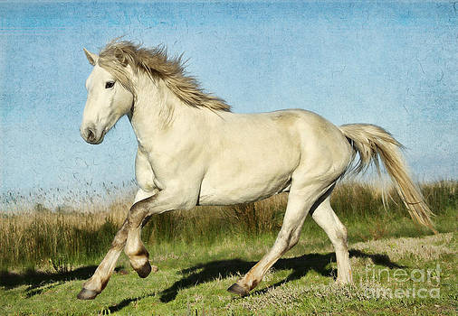 Camargue Stallion by Lisa Cockrell