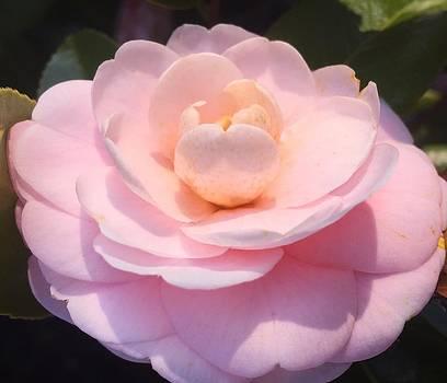 Camellia in Winter by Rachel E Moniz