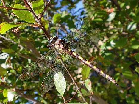 Camoflauge Dragonfly by Keeza Starr