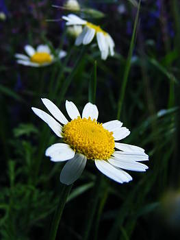 Camomile flower by Eremia Catalin