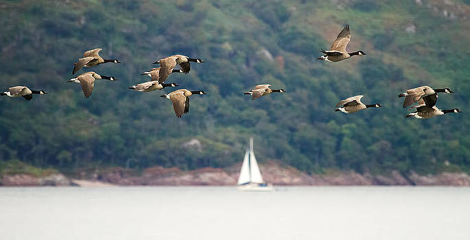 Canada Geese in flight Mull Scotland by Mr Bennett Kent